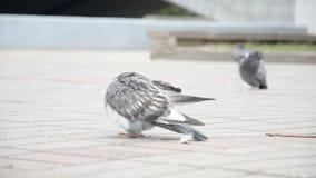 Las palomas en una ciudad almacen de video