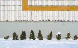 Las palomas en una repisa amontonaron juntas en una línea Concepto de la expectativa Imágenes de archivo libres de regalías