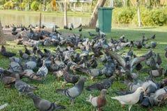 Las palomas están comiendo la comida en la hierba en parque público Fotos de archivo