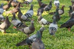 Las palomas están comiendo la comida en la hierba en parque público Imágenes de archivo libres de regalías