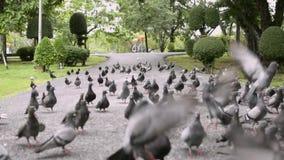 Las palomas están en el sendero en parque público almacen de metraje de vídeo