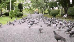 Las palomas están en el sendero en parque público almacen de video