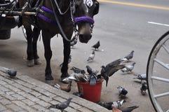 ¡Las palomas están robando mi comida!! Imagen de archivo libre de regalías