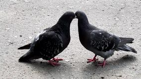 Las palomas hacen el amor en el asfalto almacen de metraje de vídeo
