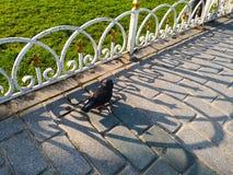 Las palomas negras están caminando en las calzadas del granito La ocsilación del blanco fotos de archivo