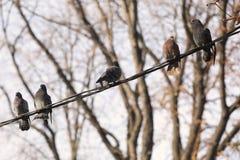 Las palomas que descansan sobre polo de teléfono telegrafían en la fila que crea la línea diagonal Fotos de archivo