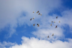 Las palomas que vuelan, cielo azul, blanco se nublan p3 Fotos de archivo libres de regalías