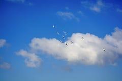 Las palomas que vuelan, cielo azul, blanco se nublan p1 Foto de archivo