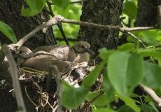 Las palomas recién nacidas se están sentando en la jerarquía y para la mamá que espera para conseguir la comida imagenes de archivo