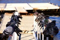 las palomas se alinearon en la verja en el mar Foto de archivo