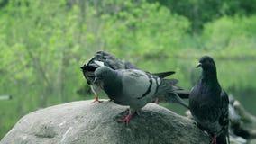 Las palomas se están sentando en una roca Las palomas grises están muy cercanas almacen de video