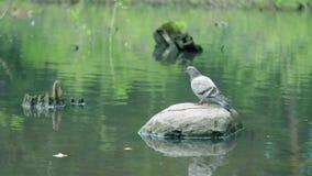 Las palomas se están sentando en una roca Las palomas grises están muy cercanas almacen de metraje de vídeo
