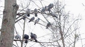 Las palomas se sientan en el árbol almacen de metraje de vídeo