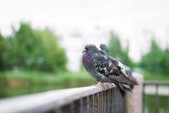 Las palomas se sientan en la cerca Fotos de archivo libres de regalías