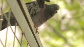 Las palomas se sientan en una cerca verde almacen de video