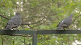 Las palomas se sientan en una cerca verde almacen de metraje de vídeo