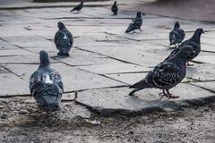 Las palomas volaron al lugar de la alimentación La gente alimenta los pájaros con pan imagen de archivo