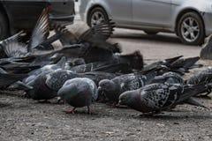 Las palomas volaron al lugar de la alimentación La gente alimenta los pájaros con pan fotos de archivo libres de regalías