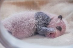 Las pandas del bebé en la reserva de naturaleza de Wolong, Chengdu, Sichuan Provence, China pusieron en peligro especie y protegi fotografía de archivo