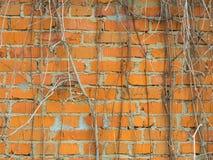 Las paredes, construidas de ladrillo rojo entrelazaron con las vides en el fondo Fotos de archivo libres de regalías