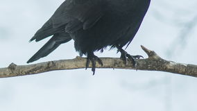 Las patas del cuervo en rama almacen de metraje de vídeo