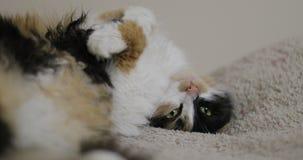 Las patas traseras de mentira del gato tricolor atiesaron el gatito del mamífero del retrato, los ojos divertidos abren la cama e metrajes