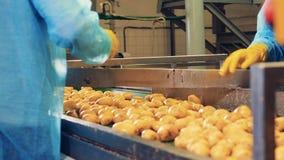 Las patatas están consiguiendo cortadas en mitades por los trabajadores almacen de video