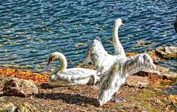 Las pelucas abren cisnes en el centro turístico y el hotel de Broadmoor - coloridos - con el lago Fotos de archivo