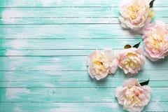 Las peonías rosadas blandas florecen en fondo de madera de la turquesa fotografía de archivo