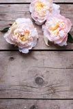 Las peonías rosadas blandas florecen en fondo de madera envejecido imagen de archivo