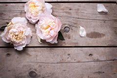 Las peonías rosadas blandas florecen en fondo de madera envejecido Endecha plana fotos de archivo