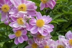 Las peonías rosadas, peonías del arbusto en primavera cultivan un huerto Fotografía de archivo libre de regalías