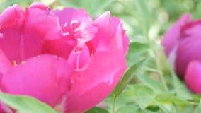 Las peonías rosadas hermosas grandes cierran la visión metrajes