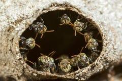 Las pequeñas abejas sin aguijón alinearon alrededor de la entrada con su colmena Fotografía de archivo libre de regalías
