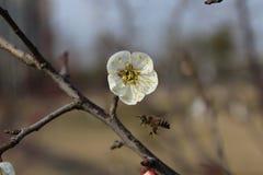 Las pequeñas abejas tomaron el wintersweet del blanco de la forma de la miel Fotos de archivo