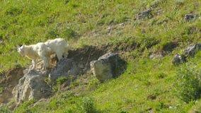Las pequeñas cabras se están empujando Cámara lenta metrajes