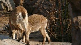 Las pequeñas cabras son córneas almacen de video