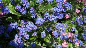 Las pequeñas flores azules Fotografía de archivo
