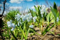 Las pequeñas flores blancas hermosas en la primavera cultivan un huerto Fotografía de archivo
