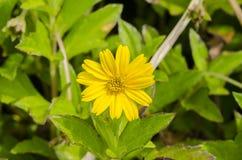 Las pequeñas flores les gustan los girasoles Imagen de archivo libre de regalías
