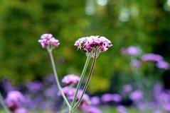 Las pequeñas flores púrpuras con una abeja en el prado Fotografía de archivo libre de regalías