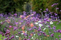 Las pequeñas flores púrpuras en el prado Fotos de archivo libres de regalías