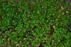 Las pequeñas hojas verdes de la hierba cubren la tierra con una alfombra Fotos de archivo