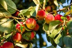 Las pequeñas manzanas crecen en una rama en el jardín fotografía de archivo libre de regalías
