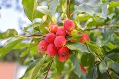Las pequeñas manzanas dan fruto en las ramas de los manzanos fotos de archivo libres de regalías