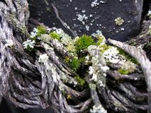 Las pequeñas plantas verdes crecen de una vieja cuerda Fotografía de archivo