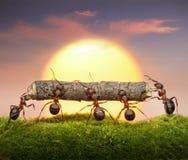 Las personas de hormigas llevan la puesta del sol de la conexión a la comunicación, concepto del trabajo en equipo Imagenes de archivo
