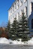 Las piceas azules crecen cerca del edificio antiguo del color blanco por la tarde clara del invierno fotos de archivo libres de regalías