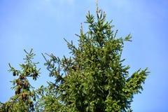Las piceas spruce dan a menudo la fruta abundante bajo la forma de conos, que a su vez es una delicadeza para los diversos pájaro Fotos de archivo libres de regalías