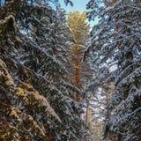 Las piceas y los pinos nevados son encendidos por la luz del sol Bosque del invierno Nevado fotos de archivo